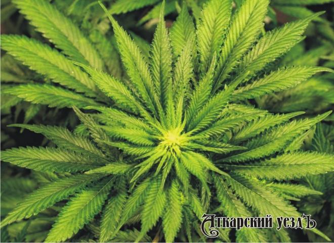Сбор конопли в сентябре марихуана исчезает в моче