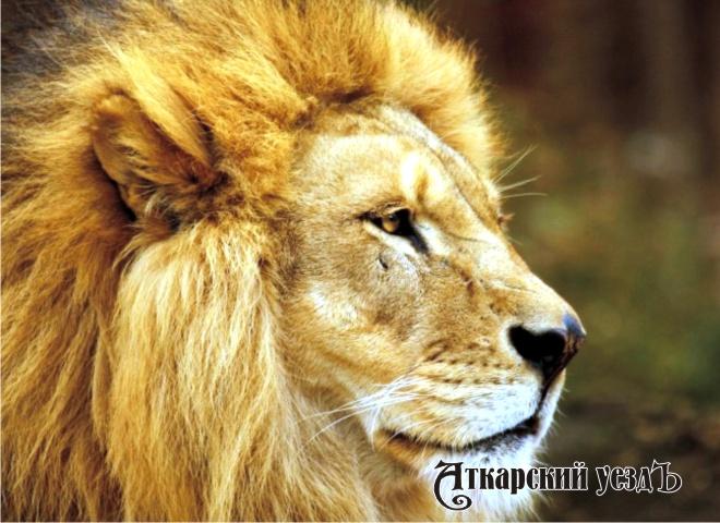 Домашний лев пытался растерзать подростка вгороде Энгельсе