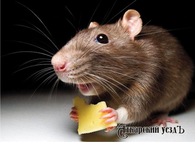 Ученые поняли, как крысы предвещают погоду