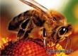 Пчел назвали спасителями человечества в недалеком будущем