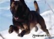 Служебная собака помогла отыскать зарубившего в лесу телку сельчанина