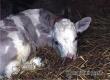 У саратовца в селе под Аткарском украли 9-месячного серого теленка