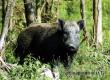 Охоту на кабана в Саратовской области откроют в установленный срок