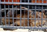 Медведь Савелий благополучно вышел из спячки и пребывает в игривом настроении