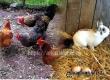 Аткарчанин похитил у соседки 5 кур и кролика, чтобы купить продуктов