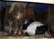 У Пензы задержали фургон с двумя незаконно перевозимыми быками из Аткарска