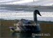 Благодаря заметке «Уезда» замерзающий лебедь вернулся к хозяйке