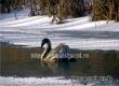 Спасатели пытаются поймать зимующего на Аткаре одинокого лебедя
