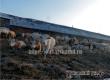 В СПК «Озерное» продолжается массовый отел, за год получено 630 телят
