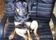 Хозяин просит аткарчан помочь отыскать пропавшую в декабре собаку