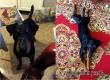 В Аткарском районе ищут потерявшуюся собаку по кличке Бой