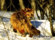 В городе Аткарске и округе введен карантин из-за бешеной лисицы