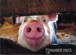 Аткарских свиноводов оштрафовали за несоблюдение ветеринарных норм