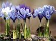 Жителей Саратовской области призывают сохранить первоцветы