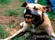 RT: Дума предлагает ввести в России понятие «опасных пород собак»