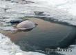 В Аткарском районе провалились под лед и утонули три коровы