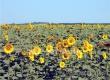 Аткарский МЭЗ начнет приемку семян подсолнечника с сентября