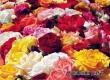 На Фестивале роз гостей ждут «Кристалл-Балалайка» и Химическое шоу
