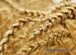 Саратовец пожаловался на уборку пшеницу с его поля в Кочетовке
