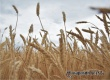 Губернатор Радаев потребовал собрать урожай-2018 без потерь