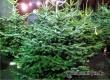 Роскачество рассказало, как выбрать «правильную» елку к празднику