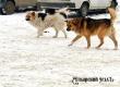 Аткарчанка пожаловалась в полицию на собак в центре города