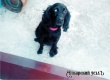 В Аткарске разыскивают черного спаниеля по кличке Джесси