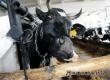 В хозяйствах района за 10 месяцев произведено 4,5 тыс. тонн молока