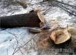 20-летний житель Озерного незаконно спилил 5 дубов, липу и вяз