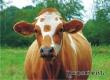 Екатеринбуржец выманил у сельчан деньги за несуществующую корову