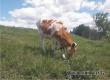 Житель Озерного лишился 10 тысяч рублей при покупке коровы в Интернете