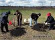 На акции «Сад памяти» в поселке Лопуховка высадили 50 каштанов